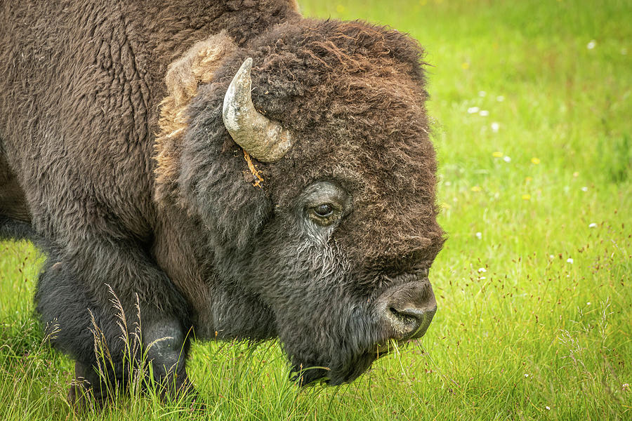 Profile of an American Bison by Constance Puttkemery