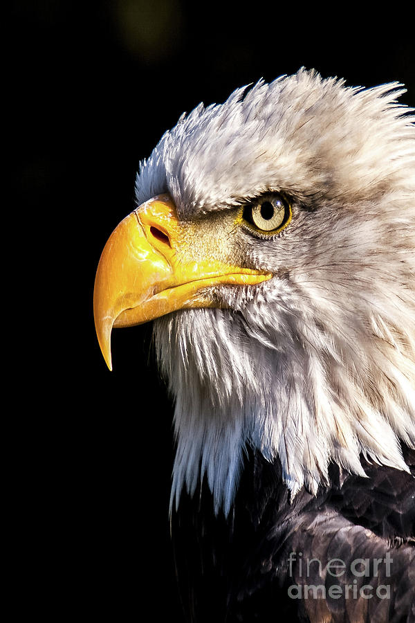 Profile Of Bald Eagle Photograph