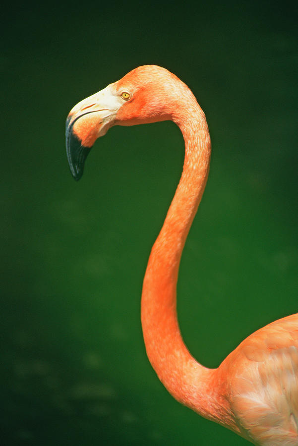 Profile Of Flamingo Photograph by Jupiterimages