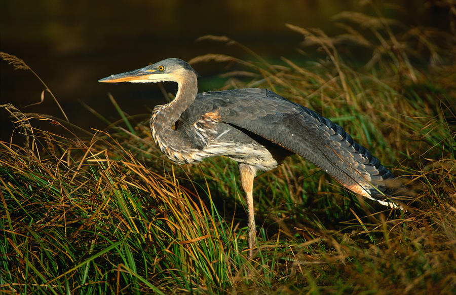 Profile Of Great Blue Heron Photograph by Lonely Planet