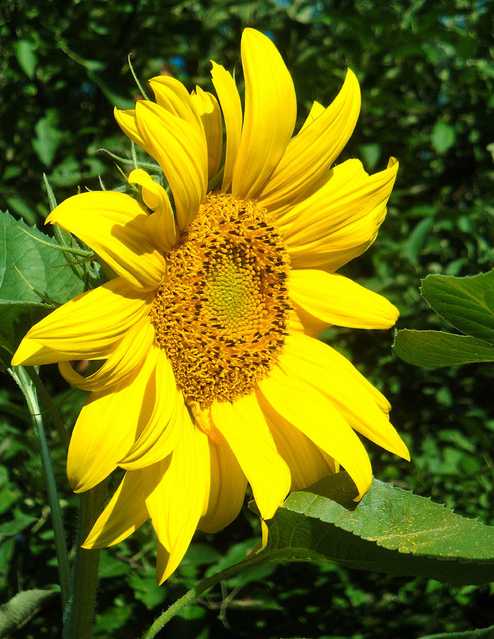 Profile Sunflower by Natalie Holland