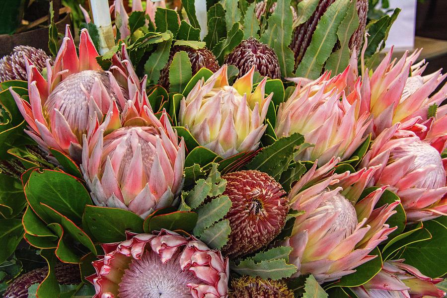 Prolific Protea by Douglas Wielfaert