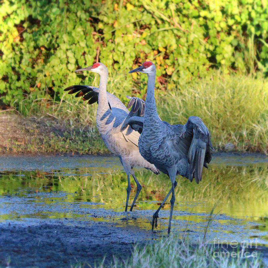 Promenading Sandhill Cranes by Carol Groenen