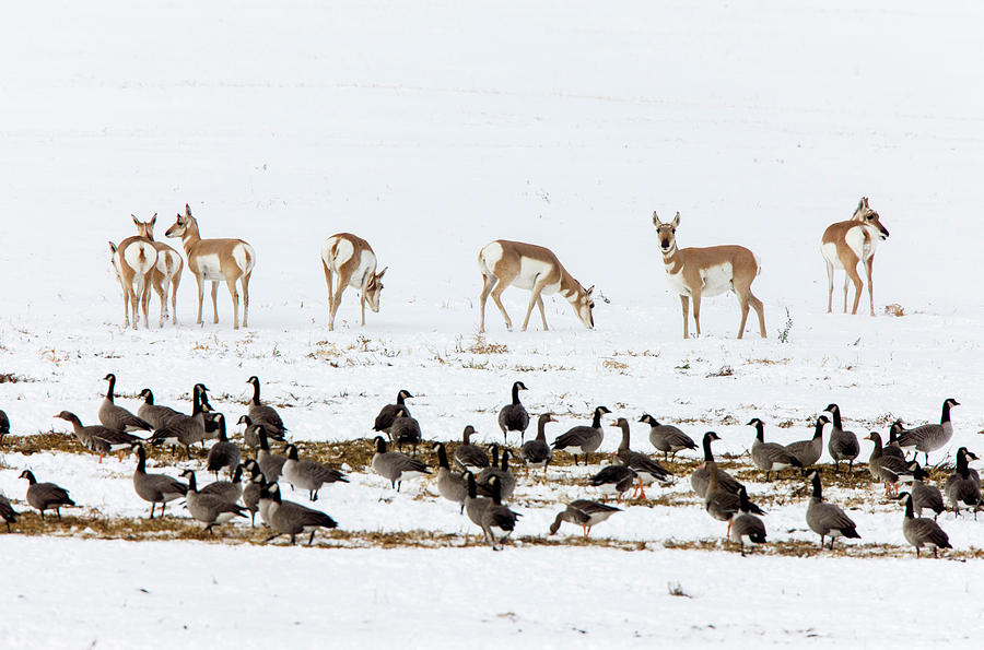 Wildlife Photograph - Pronghorn Antelope And Geese by Mark Duffy