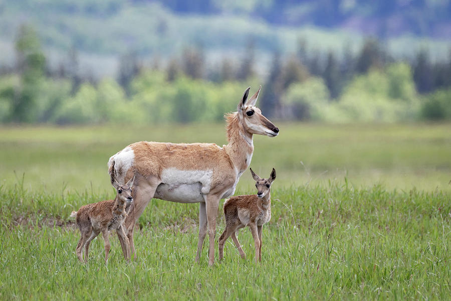 Pronghorn Antelope Doe and Fawns by Michael Chatt