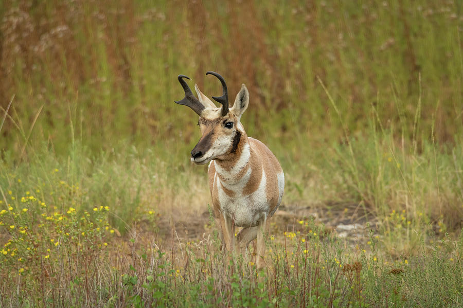 Pronghorn at the National Bison Range by Constance Puttkemery