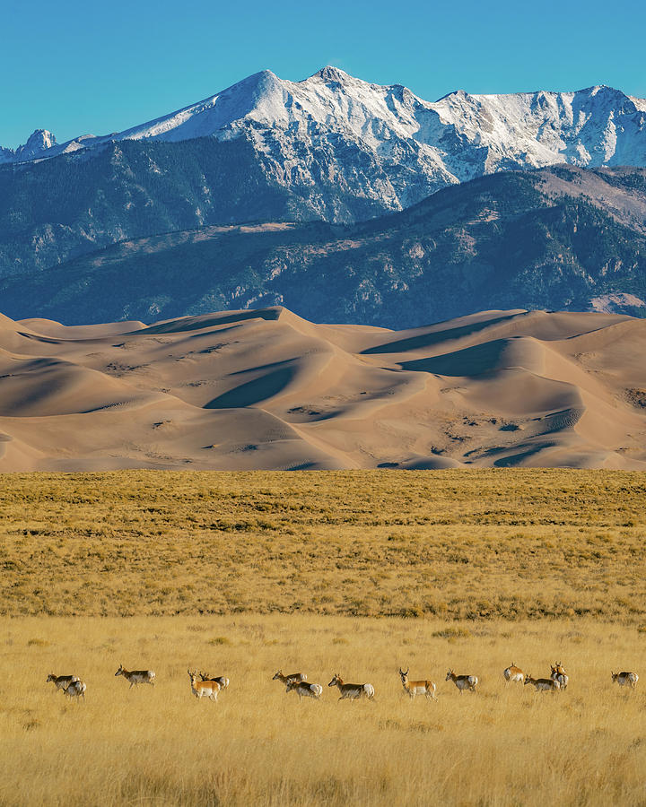 Pronghorns crossing the plains of Great Sand Dunes National Park by Gary Kochel