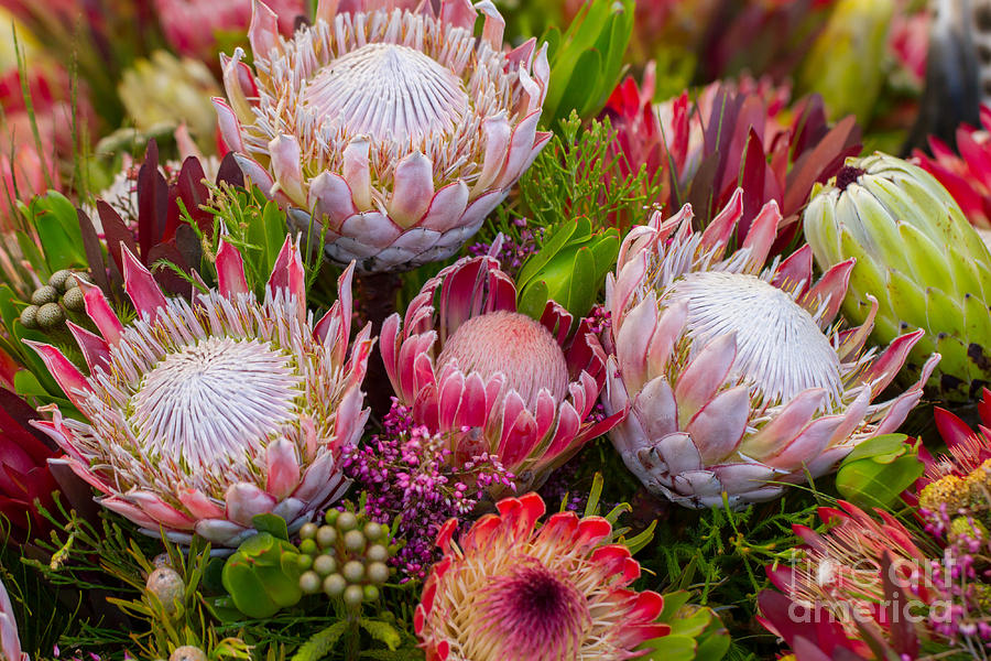 Big Photograph - Protea by Cuson