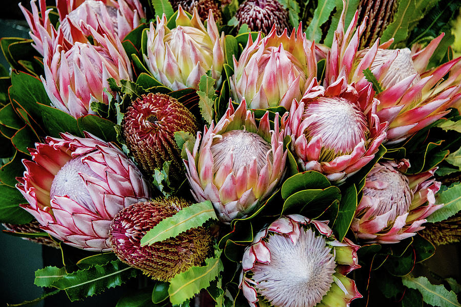 Protea,  Exotic Beauty of South Africa by Marcy Wielfaert