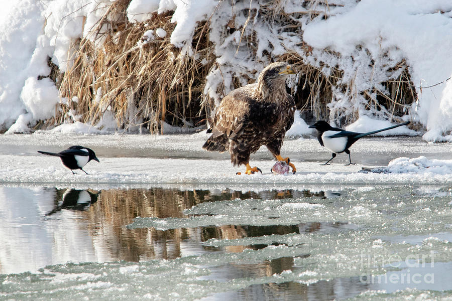 Bald Eagle Photograph - Protecting Dinner by Mike Dawson