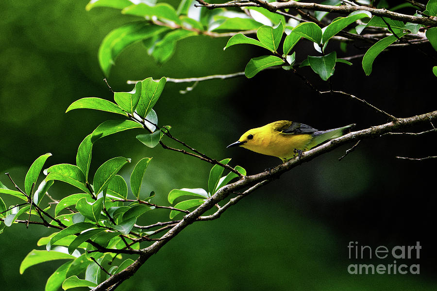 Prothonotary Warbler by Paul Mashburn