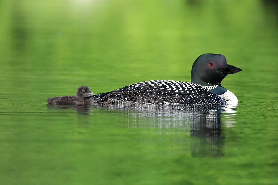 Proud Loon Parent and Chick by Sandra Huston
