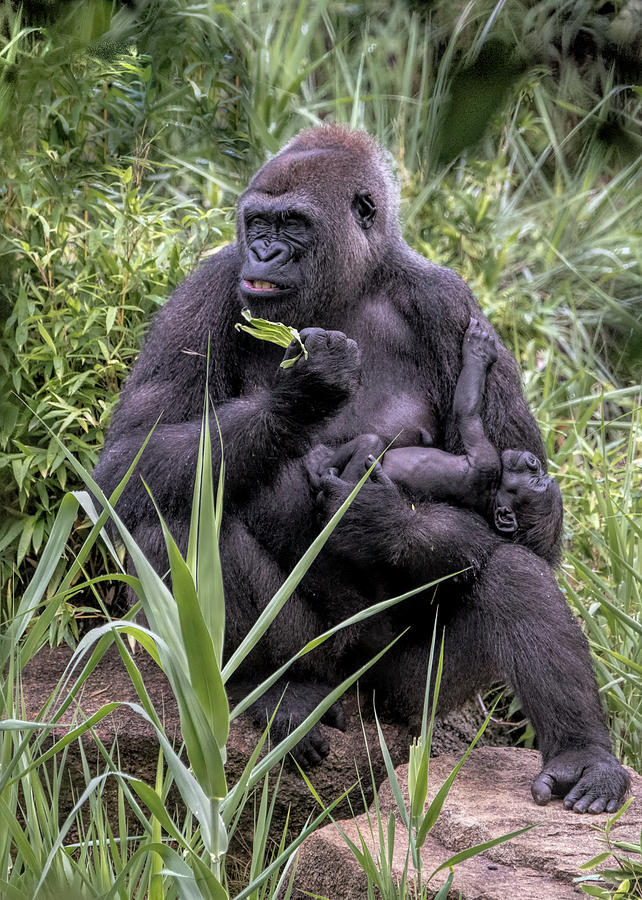 Proud Mama Silverback 6243 by Donald Brown