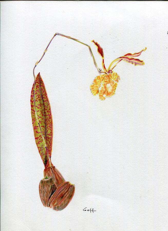 Psychopsis papilio by Penrith Goff