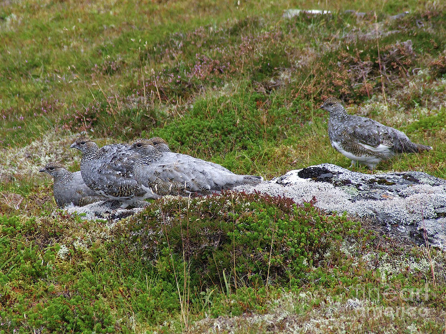 Ptarmigan - Masters of Camouflage by Phil Banks