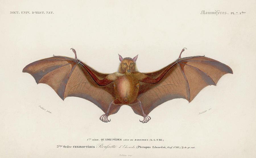 Pteropus Edwardsii Digital Art by Hulton Archive