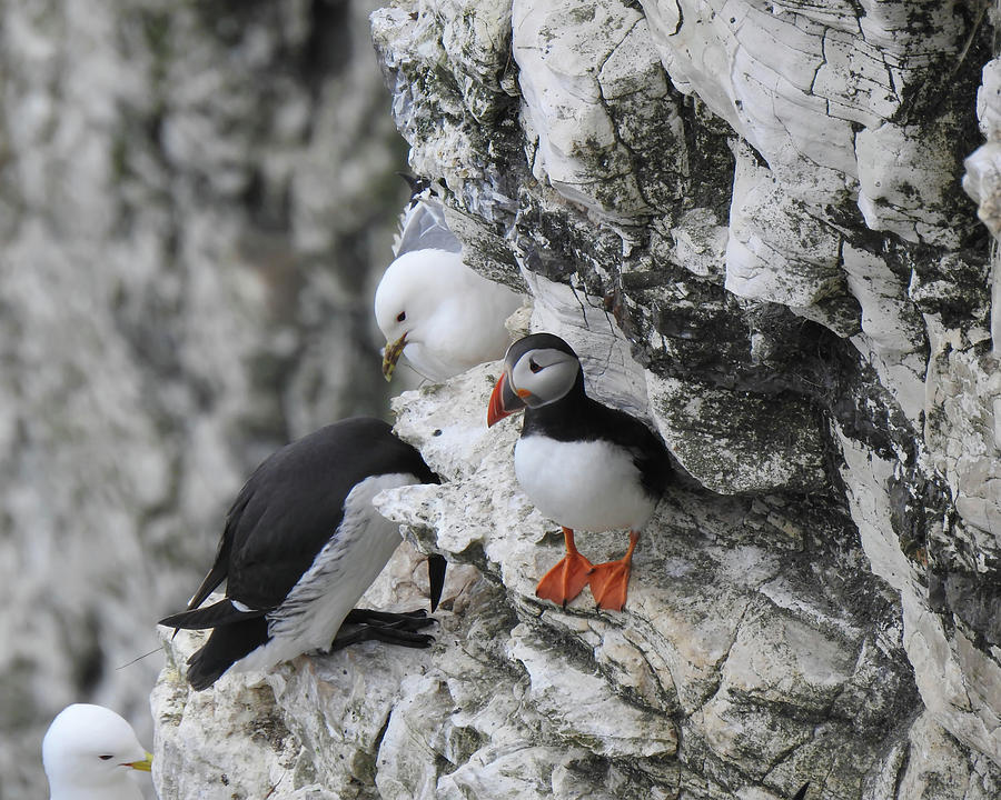 Puffin and Friends by Anthony Murphy