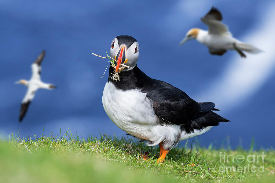 Puffin and Gannets by Arterra Picture Library