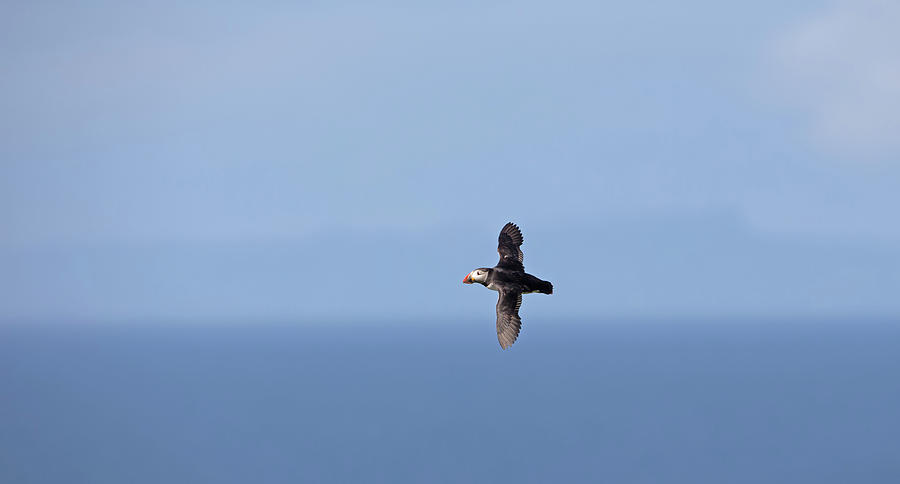 Puffin Flying Over Sea by Peter Walkden