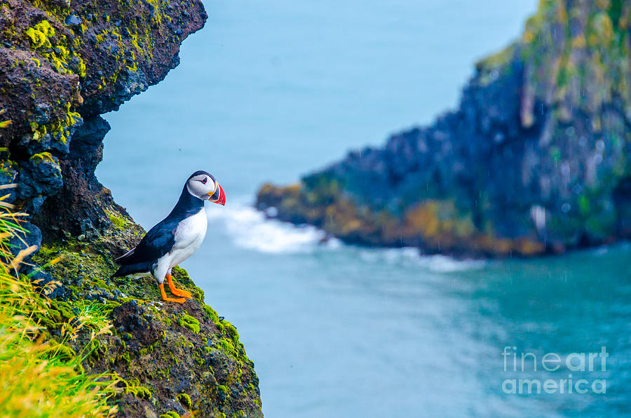 Icelandic Photograph - Puffin - Iceland by Simon Dannhauer