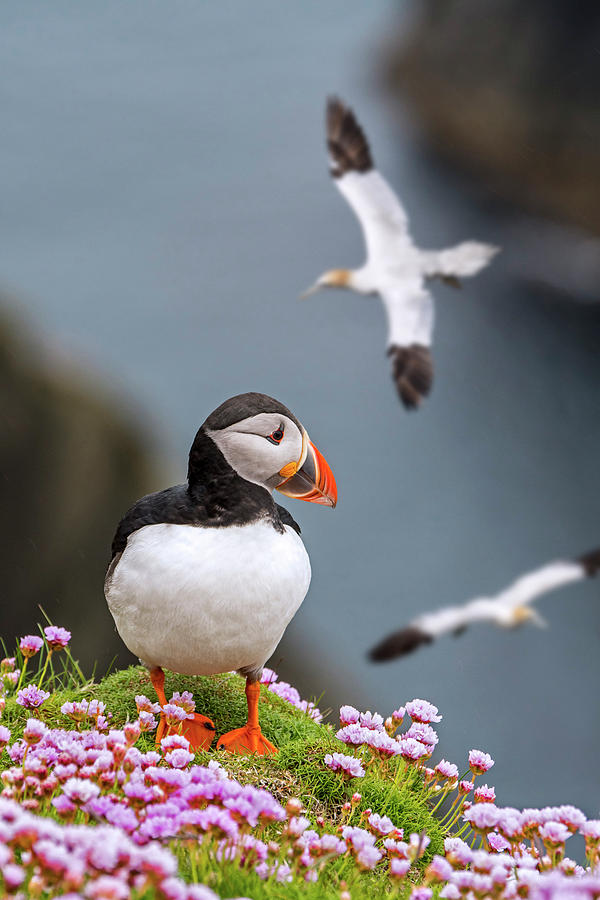 Puffin in the Shetland Isles by Arterra Picture Library