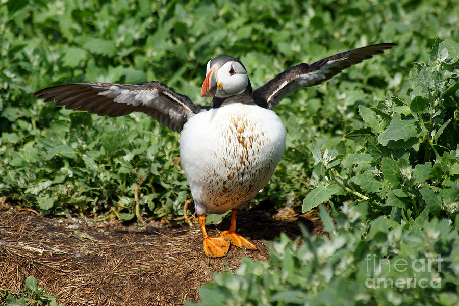 Puffin with wings outstretched. by David Birchall