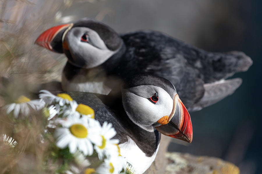 Puffins resting at the edge of the Latrabjarg cliffs in West Iceland. by Pierre Leclerc Photography