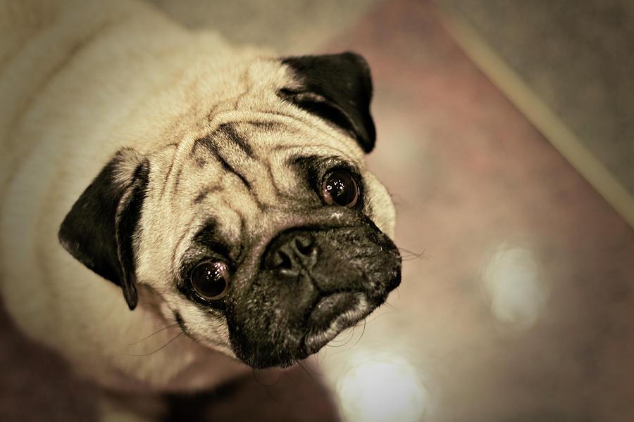 Pug Dog Photograph by Grumpymonkee