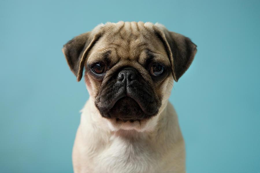 Pug Puppy Against Blue Background Photograph by Reggie Casagrande