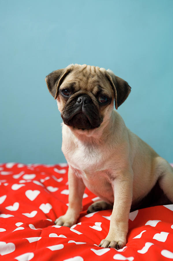 Pug Puppy Sitting On Bed Photograph by Reggie Casagrande