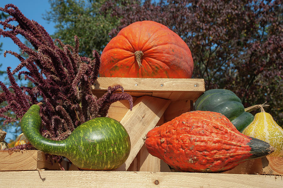 Pumpkin and Gourds on Wooden Display by Jenny Rainbow