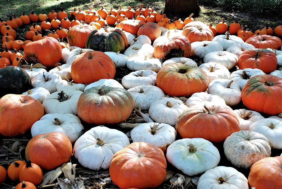 Pumpkin Patch Photograph