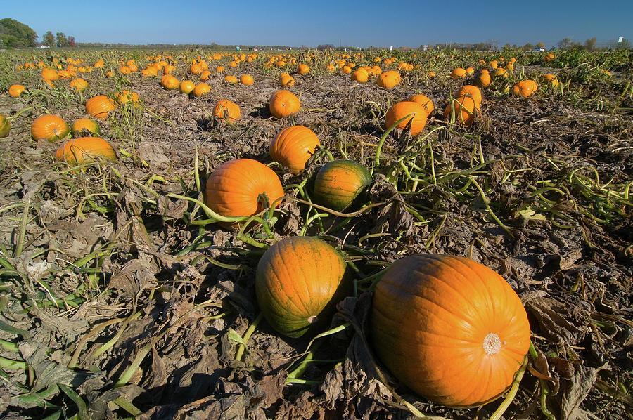 Pumpkin Patch by Steve Stuller