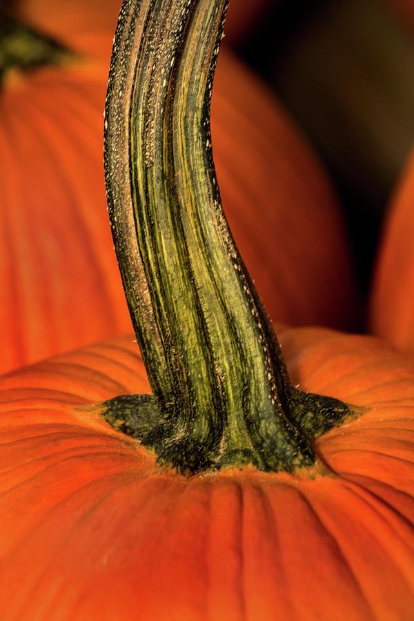 Pumpkin Stem by Don Johnson