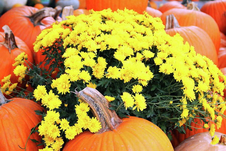 Pumpkins And Yellow Mums by Cynthia Guinn