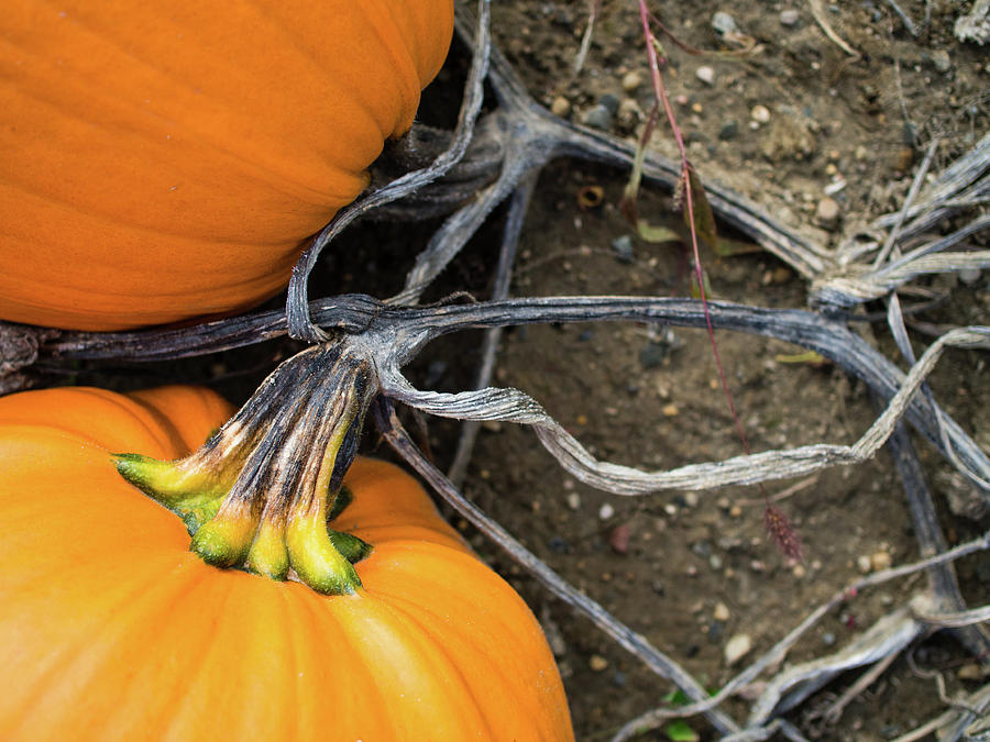 Pumpkins entwined together by Whitney Leigh Carlson