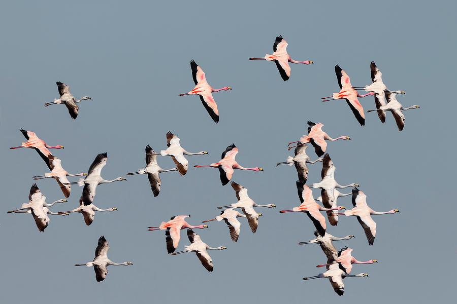 Puna Flamingos in flight by Pablo Rodriguez Merkel