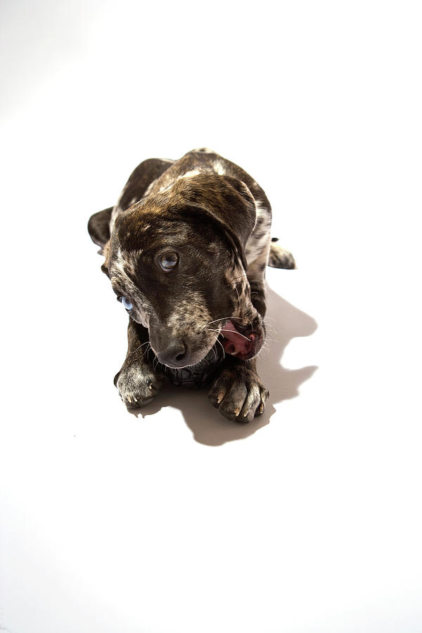 Puppy Catahoula Leopard Dog by Virginia Macdonald Photographer In