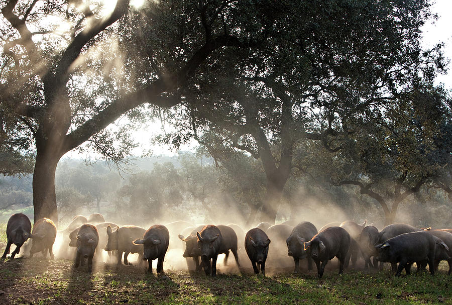 Pure Iberian Pigs Feed On Grasslands At Photograph by Diego Lezama