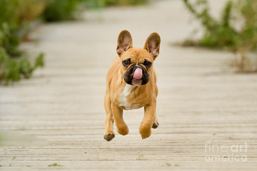 Jumping Photograph - Purebred Dog Outdoors On A Summer Day by Bigandt.com