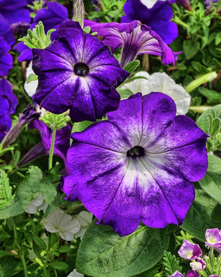 Purple And White Petunias Photograph