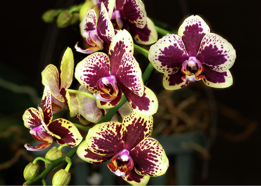 Purple and Yellow Orchid-3 by Rudy Umans