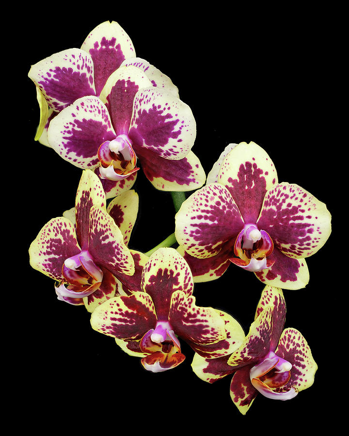 Purple and Yellow Orchid-4 by Rudy Umans