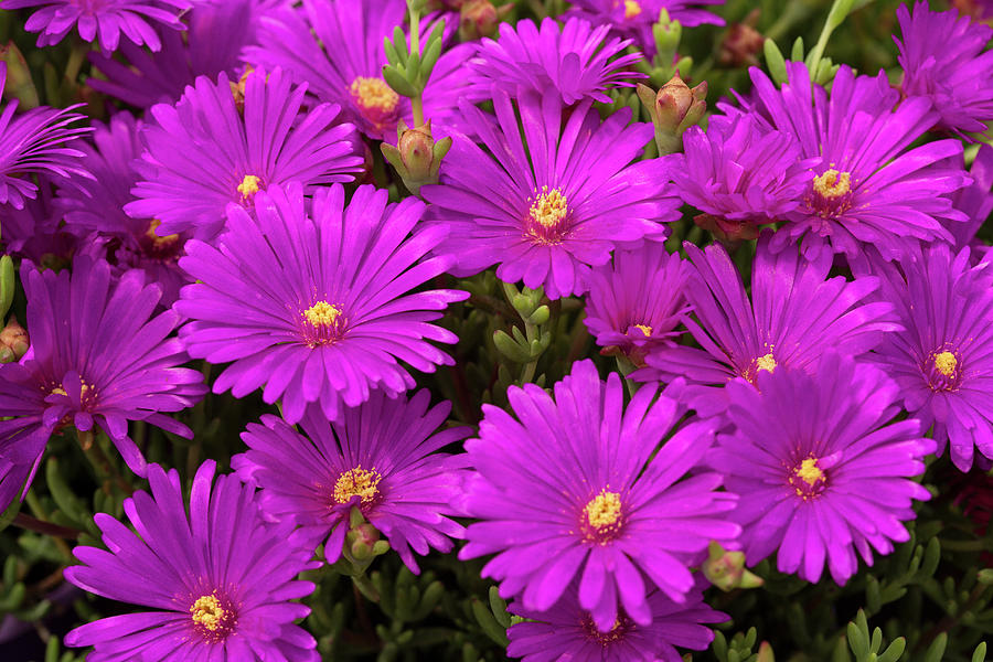 Purple Asters Flowers Photograph