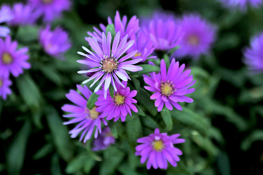 Purple Asters by Sheila Brown