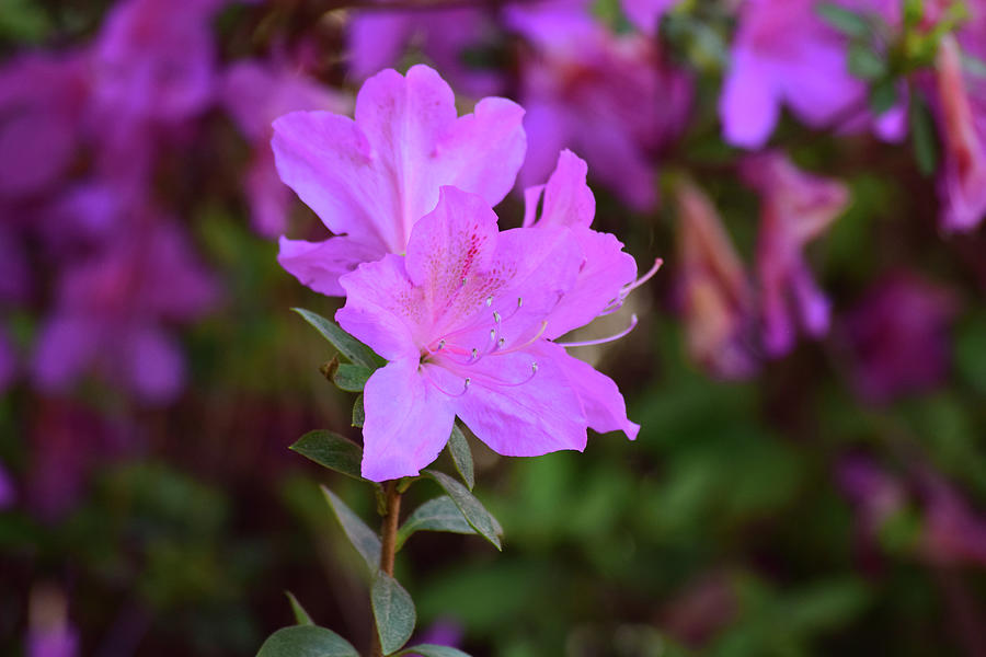 Purple Azaleas in Bloom by Nicole Lloyd