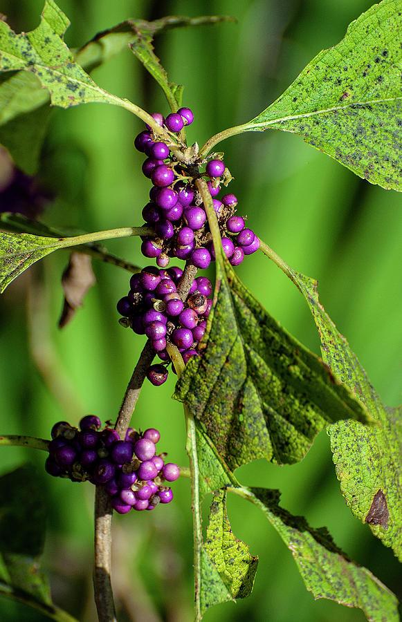 Purple Berries - Florida by Gene Bollig