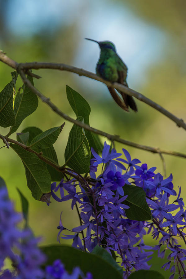 Purple Blossoms and Hummingbird by Dorothy Cunningham