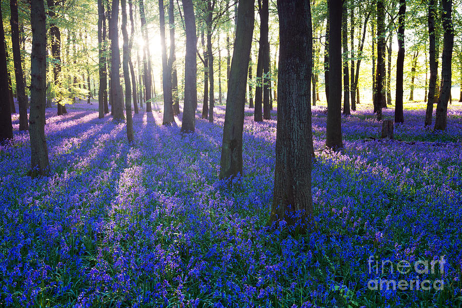 Beam Photograph - Purple Bluebell Woods In Early Morning by Stocker1970