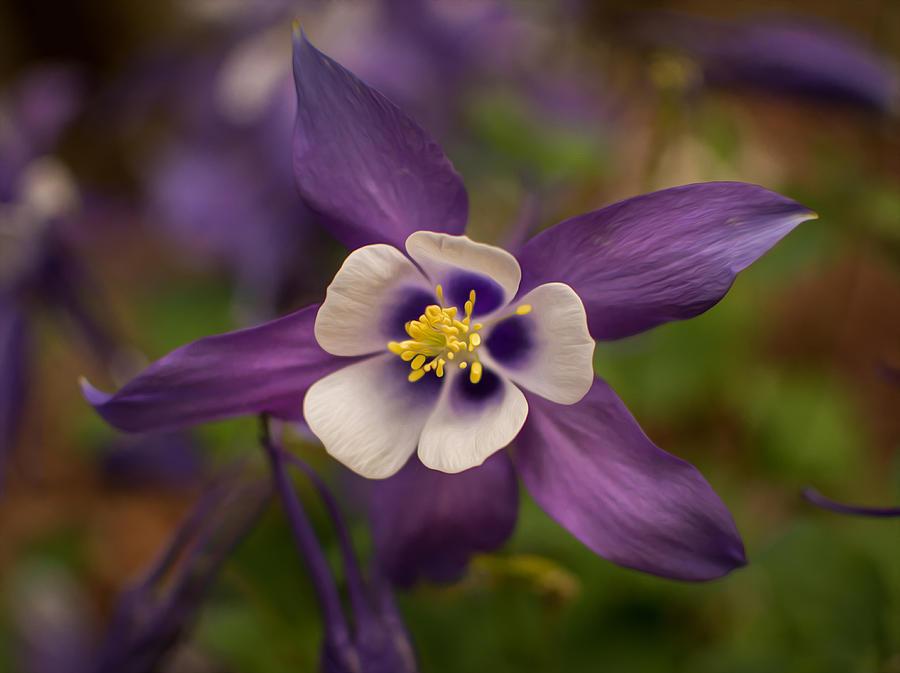 Purple Columbine Photograph By Keith Smith